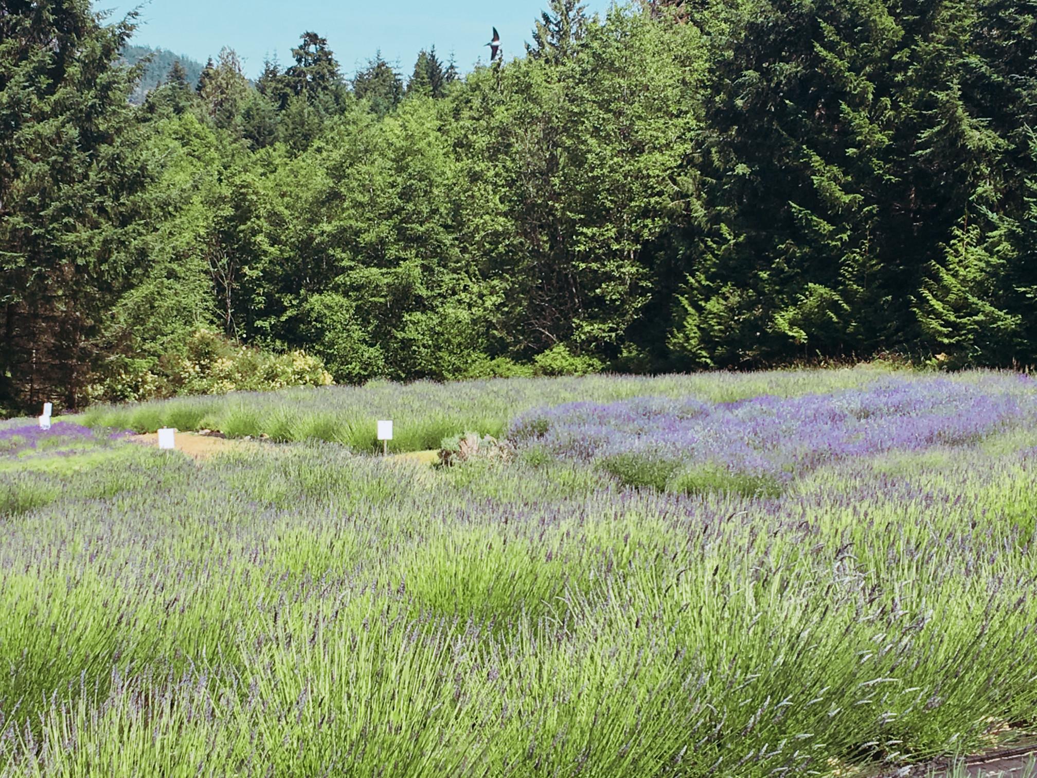 lavenderfarm-saltsp-1